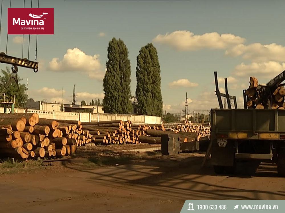 Thân cây gỗ được mang về nhà máy